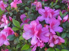 Florida Marriott Cypress Harbour pink azaleas