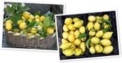 Visualizza limoni