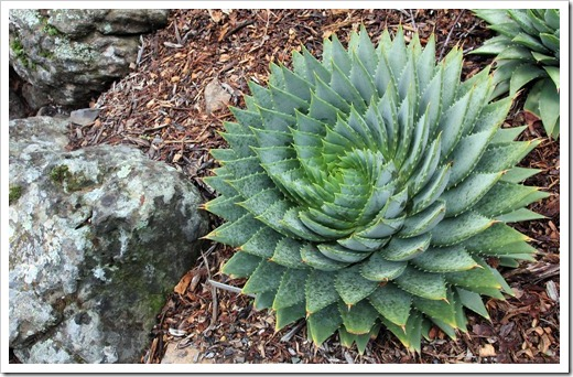 121228_UCBotGarden_Aloe-polyphylla_02