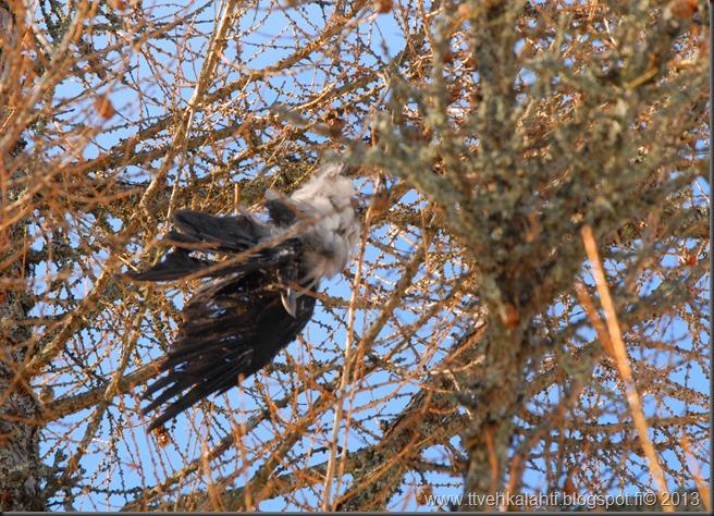 sininen taivas päätön varis  kissa 017