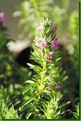 Thymbra spicata