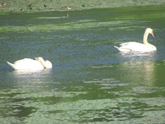 bog swans swimming in lily pads1