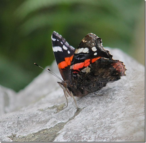 44-red-admiral