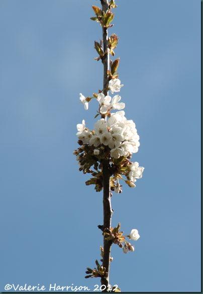 2-blossom