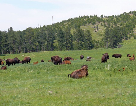Custer SP Bison