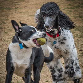 My Ball !!! by Ron Meyers - Animals - Dogs Playing