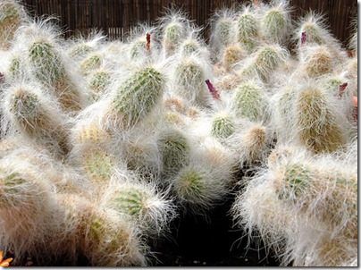 Cacti11-blog