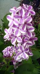 Lilacs May 2013