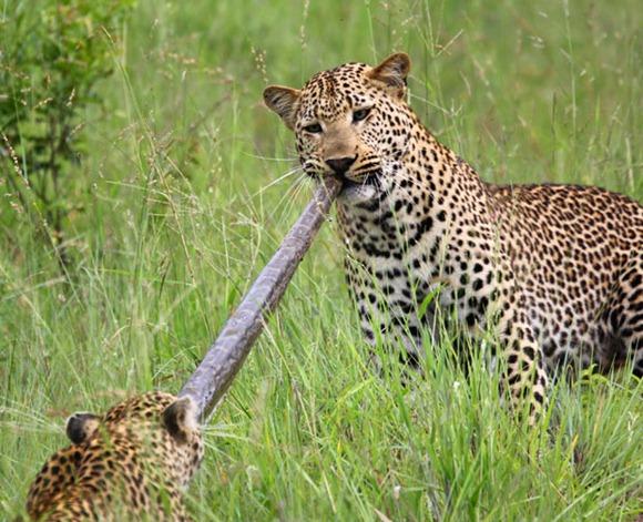 leopards-python_1815807i