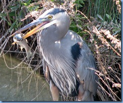 7115 Texas, South Padre Island - Birding and Nature Center - Great Blue Heron with a fish