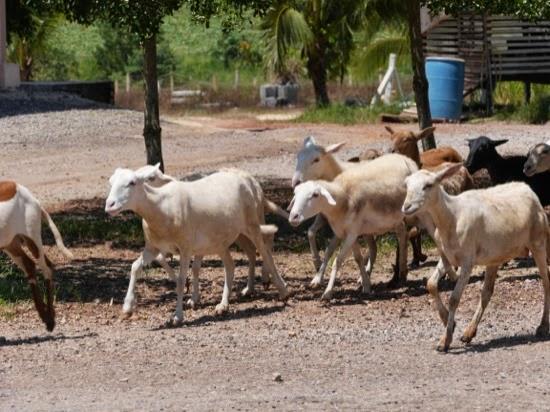 UK Farms - Sheep at UK Farm