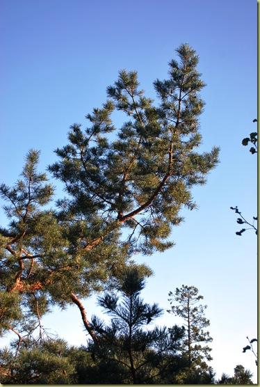 Fall 2011 - Pine