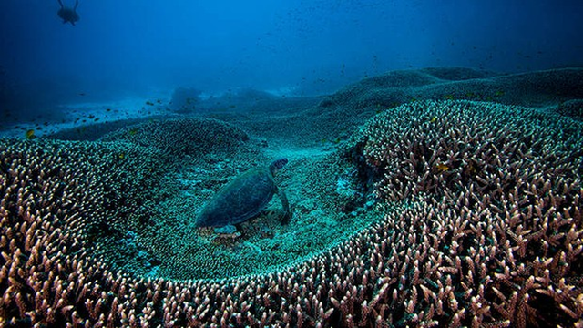 A green turtle in the Great Barrier Reef, which will not be listed as 'in danger'. Photo: Gary Cranitch / Brisbane Times
