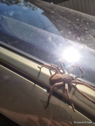 Huntsman spider (1)