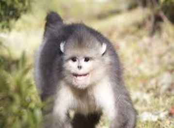 Amazing Pictures of Animals, photo, Nature, exotic, funny, incredibel, Zoo, Myanmar snub-nosed monkey, Alex (9)