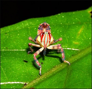 Amazing Pictures of Animals, photo, Nature, exotic, funny, incredibel, Zoo, Leafhopper, Insecta, Alex (9)