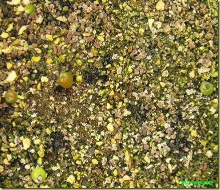 Ariocarpus furfuraceus Matehuala - SLP-2011-02-21_00018IMG_6733
