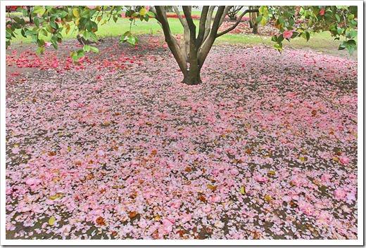 120317_Capitol_Park_Camellia-japonica_27