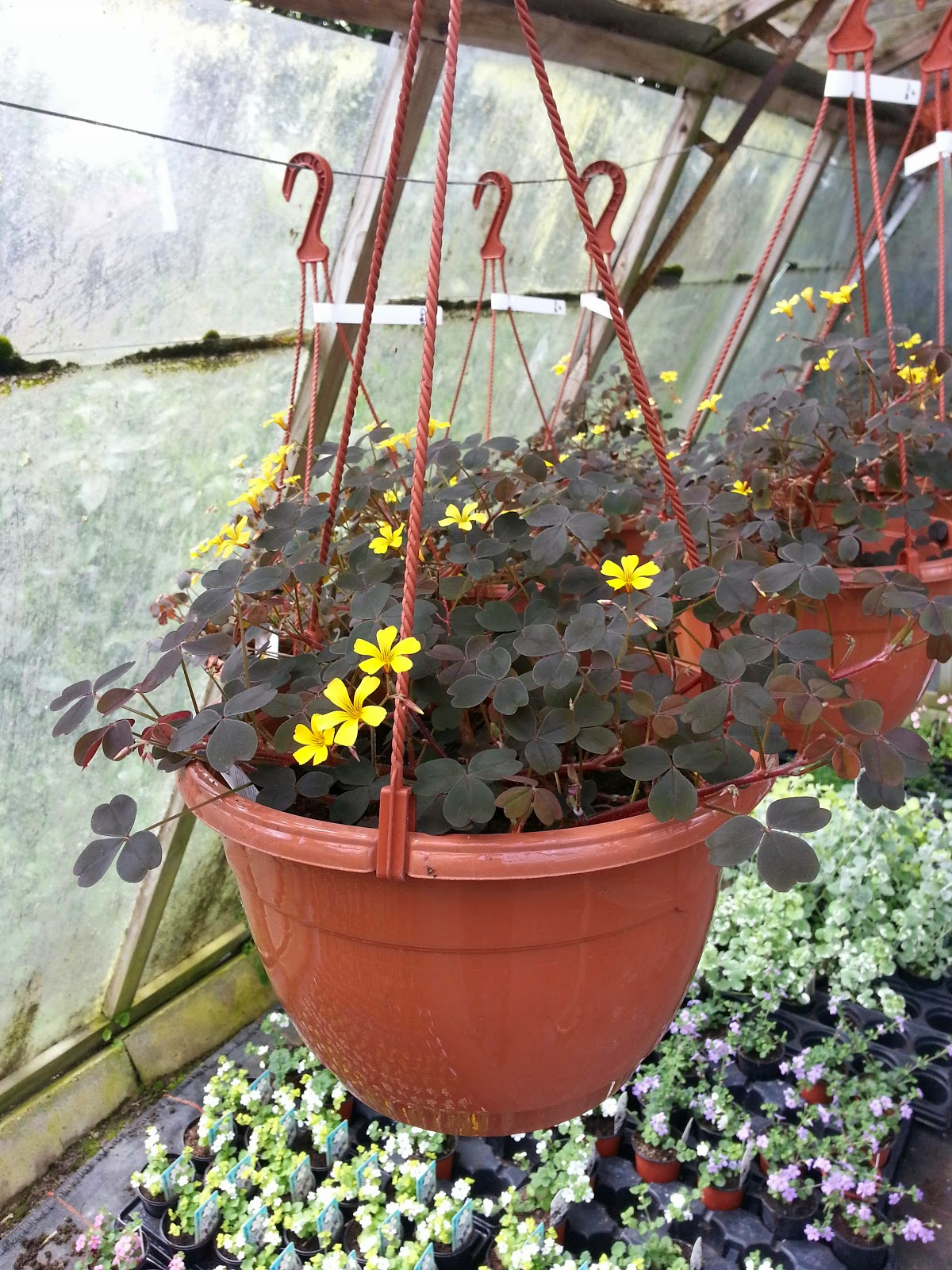 grove house plants hanging baskets for sale