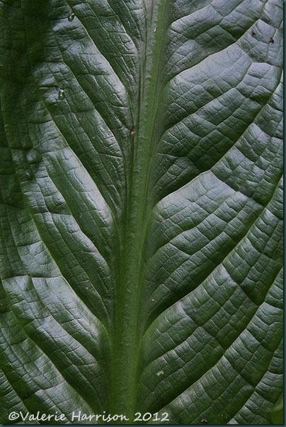 5 huge-leaf