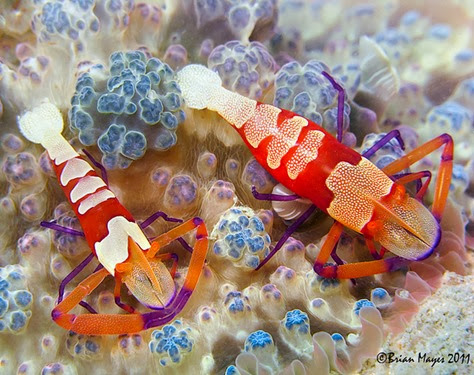 Amazing Pictures of Animals, Photo, Nature, Incredibel, Funny, Zoo, Periclimenes imperator, Emperor shrimp, Crustacea,Alex (7)