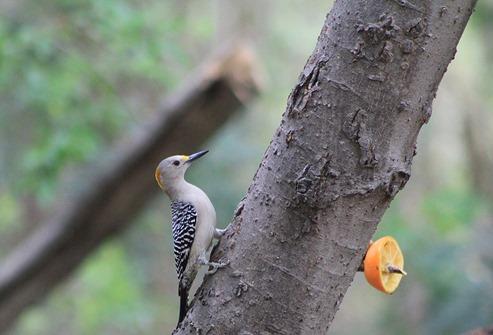 NBC Golden Fronted Woodpecker 20132