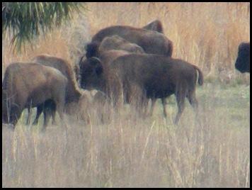 Buffalo, horses & deer 025