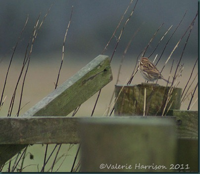 43-reed-bunting-female