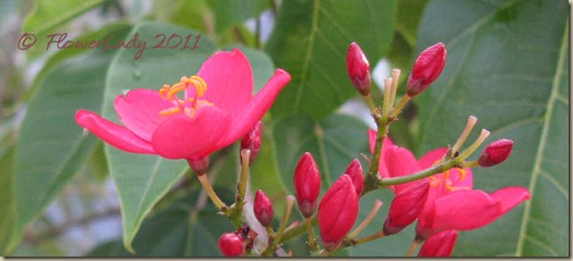 06-11-spicy-jatropha