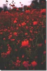 campo de flores vermelhas