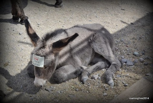 Baby Burro isn't ready for solid food yet