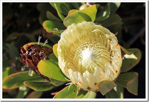 121027_UCSCArboretum_Protea-obtusifolia_02