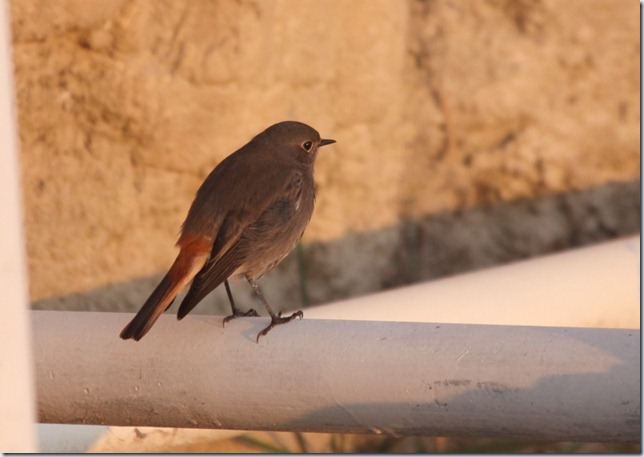 black_redstart