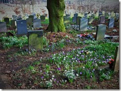 snowdrops and crocuses churchyard