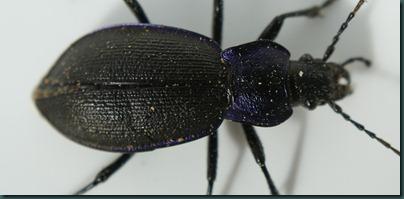 beetle-body