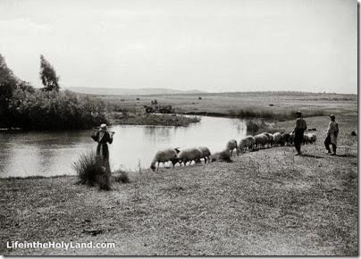 Aphek, source of Yarkon River with flock of sheep, mat02807