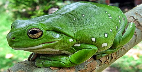 8- As rãs não podem engolir sem pestanejar, porque seus olhos ajudam a empurrar a comida em seu estômago