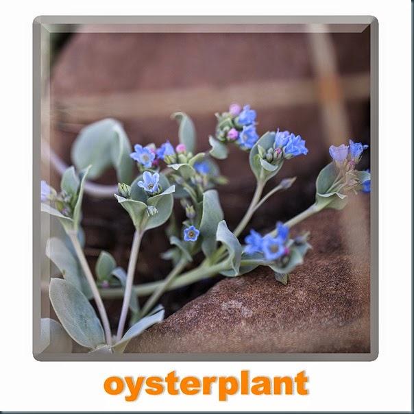 oysterplant