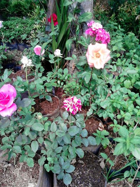 Jual Pohon Mawar Dan Bunga Mawar Berbagai Macam Warna