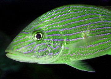 GREEN_FISH_928