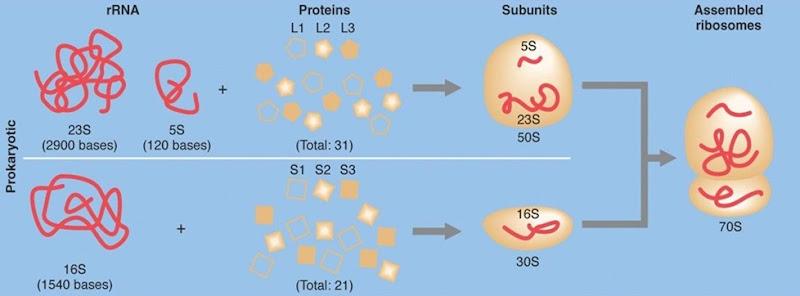 70S ribosome  subunits