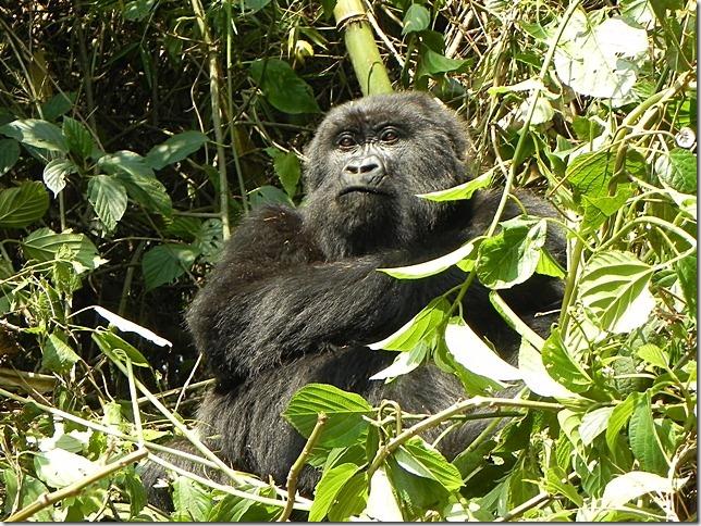 Rwanda_Gorillas (8)