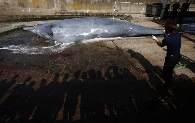 A worker sprays water on a dead Baird's Beaked whale before butchering it, as shadows of a crowd of grade school students and residents are cast on the ground, at Wada port in Minamiboso, southeast of Tokyo. Photo: ISSEI KATO / REUTERS