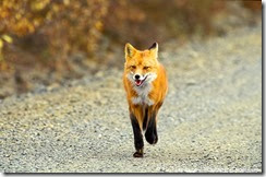 Red-Fox-Road.