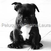 bulldog_frances1