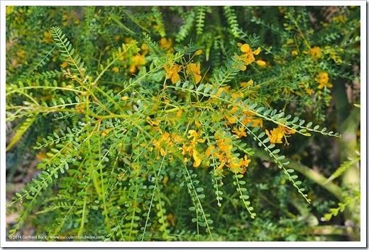140513_Palo-verde-Sonoran-Emerald_003
