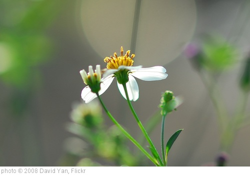 'Bidens Alba, common weeds in Hong Kong, Yuen Long, Hong Kong' photo (c) 2008, David Yan - license: http://creativecommons.org/licenses/by/2.0/