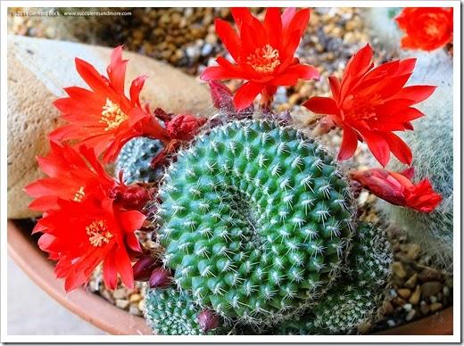 140520_rebutia_flowers_007