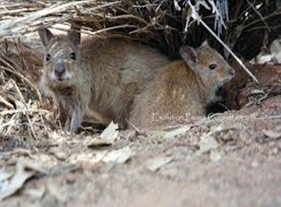 Amazing Pictures of Animals, Photo, Nature, Incredibel, Funny, Zoo, rufous hare-wallaby, (Lagorchestes hirsutus), Mammals, Alex (8)