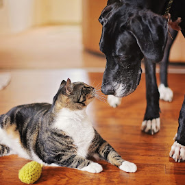 Jack and Earl by Heather Green - Animals - Dogs Playing ( canon6d, cat, animals, dogs, portrait, great dane, cats, dogs and cats, adopted cat, pets, 50mm 1.4, dog, animal,  )